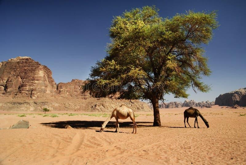 在旱谷兰姆酒的骆驼 免版税库存照片
