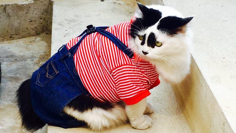 在时尚衣裳的白色猫黑色耳朵 免版税库存图片