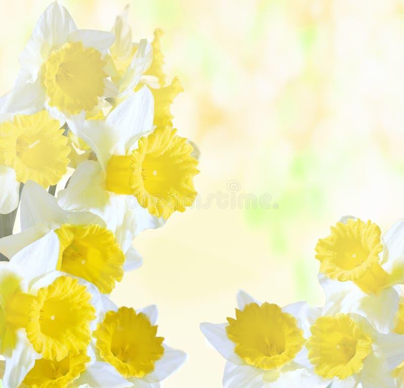 在明亮的抽象背景的黄水仙 向量例证