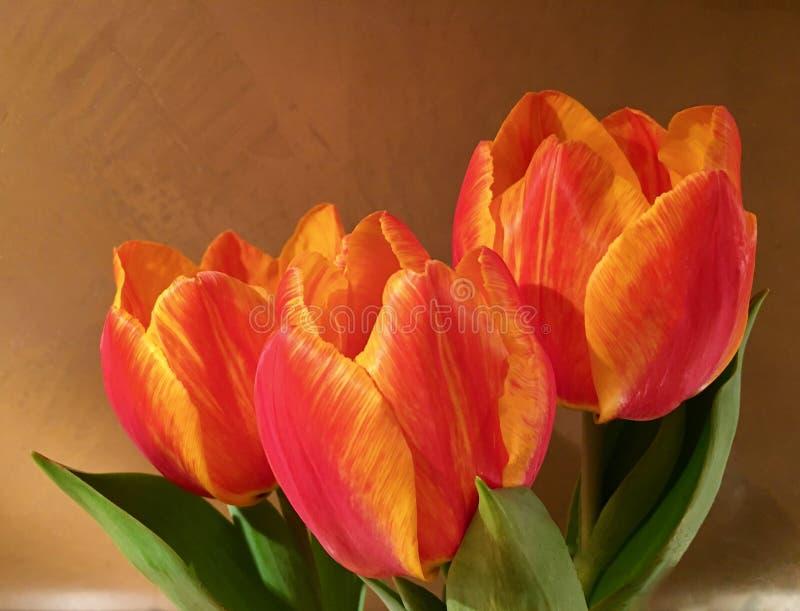 在明亮的桔子的三新鲜的郁金香在棕色墙壁前面 免版税库存图片