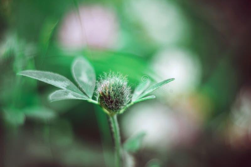 在明亮的水多的绿色被弄脏的背景关闭的美丽的蓬松三叶草芽  饲料和药用植物 草甸三叶草 库存图片