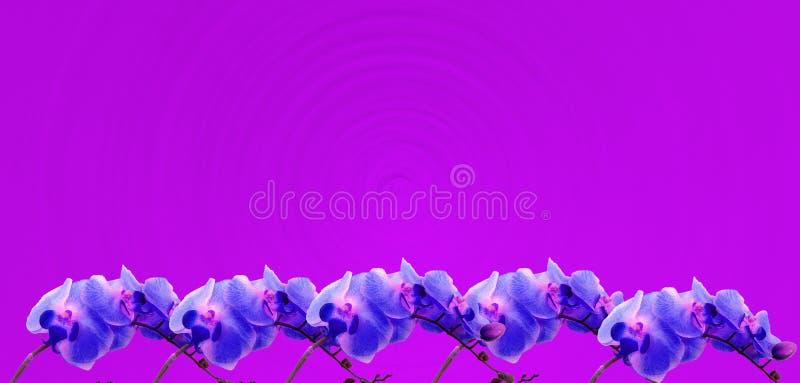 在明亮的紫红色的背景的紫罗兰色兰花边界 皇族释放例证