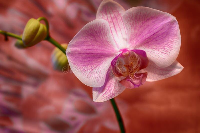 在明亮的背景的美丽的被察觉的兰花 库存照片