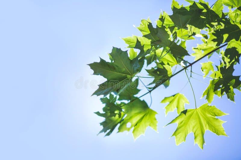 在明亮的蓝天的惊人的五颜六色的叶子 春天与绿色叶子的树枝 环境,自然,生态概念 库存图片