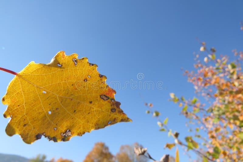 在明亮的蓝天背景的黄色秋叶 免版税图库摄影