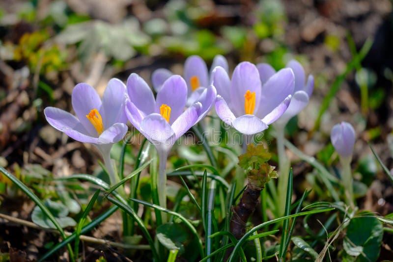 在明亮的阳光下的开花的紫罗兰色番红花在早期的春天森林里 免版税库存图片