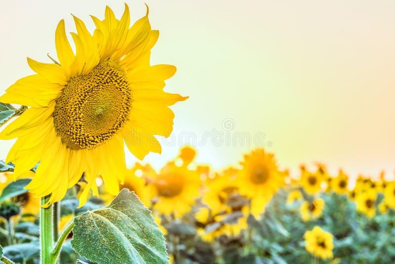 在明亮的晴朗的领域日落天空背景的开花的向日葵  库存照片