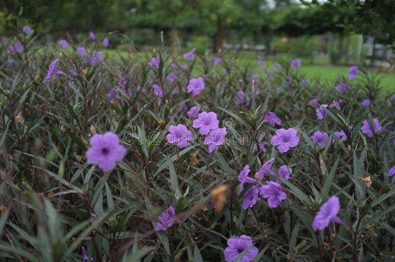 在昏暗的光的暗藏的紫色花 免版税库存照片
