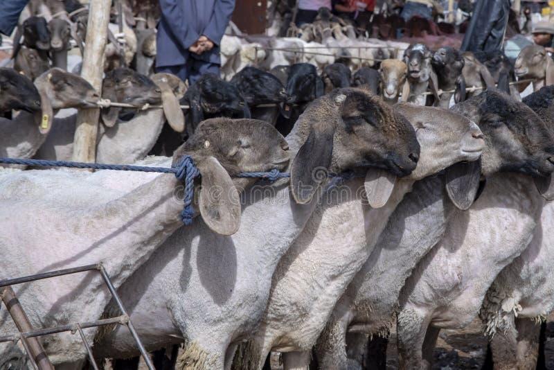 在星期天家畜义卖市场,喀什,中国的绵羊 免版税库存图片