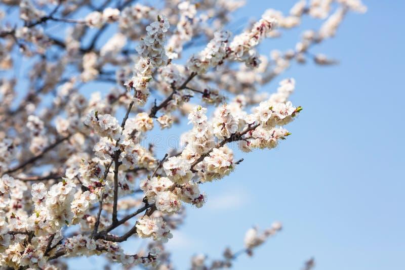 在春天关闭的开花的果树  图库摄影
