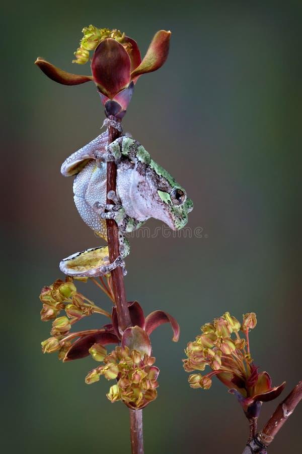在春天分支的灰色雨蛙 库存照片