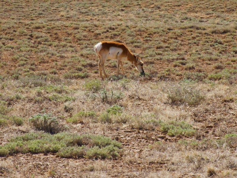 在春天吃草羚羊 免版税库存照片