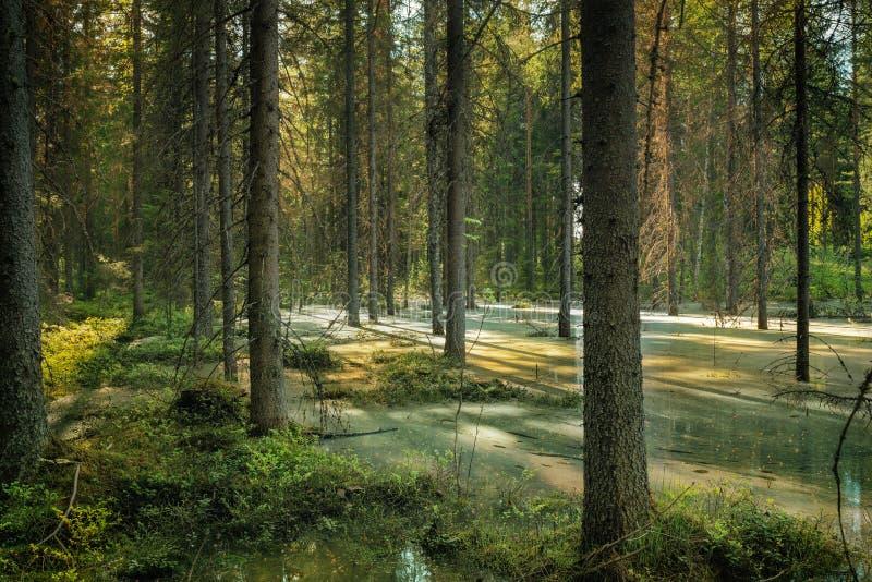 在春天地面洪水的森林视图 库存照片