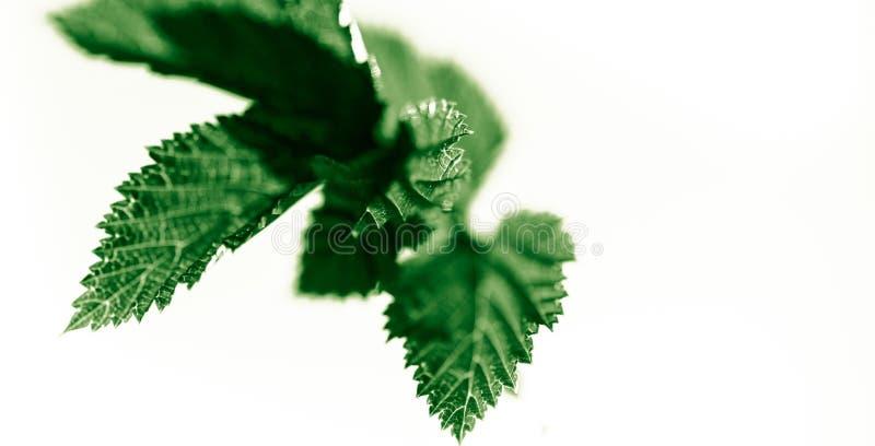 在春天夏天概念的白色,抽象背景隔绝的新鲜的浅绿色的叶子 免版税库存图片