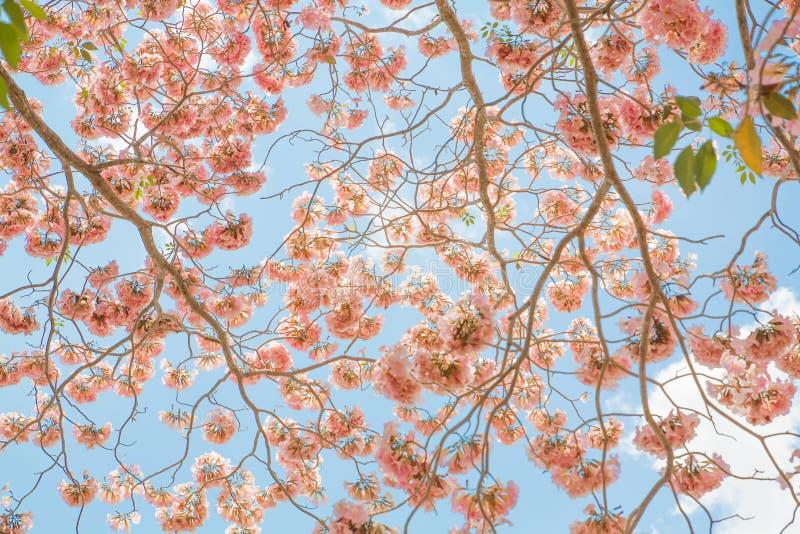 在春天平静和蔷薇石英的树桃红色花 免版税库存图片