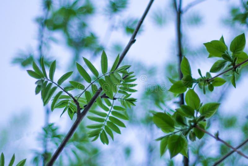 在春天年轻叶子在分支开花 新鲜的草本 自然更新  库存图片