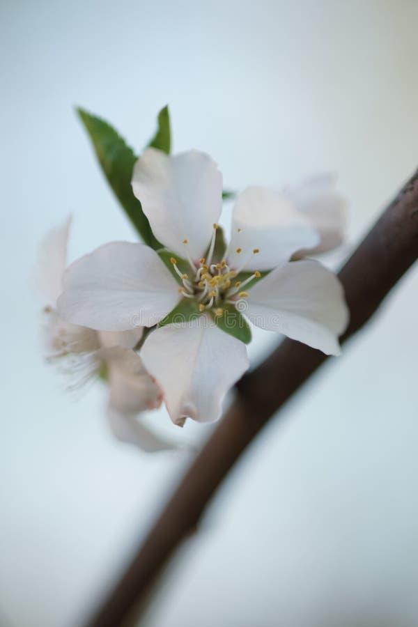 在春天庭院特写镜头的榆叶梅树 免版税库存图片