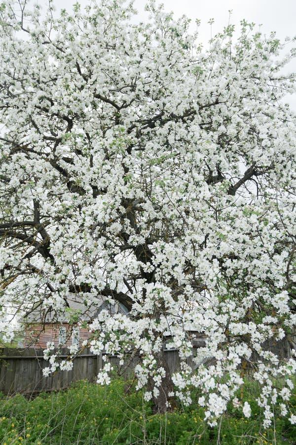 在春天庭院覆盖物的开花的苹果树与雪白色开花在老木农厂木屋背景 图库摄影
