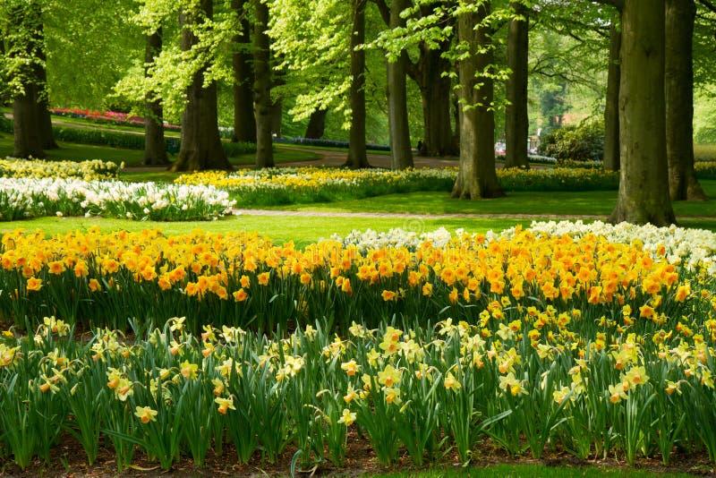 黄水仙在春天庭院里 库存图片