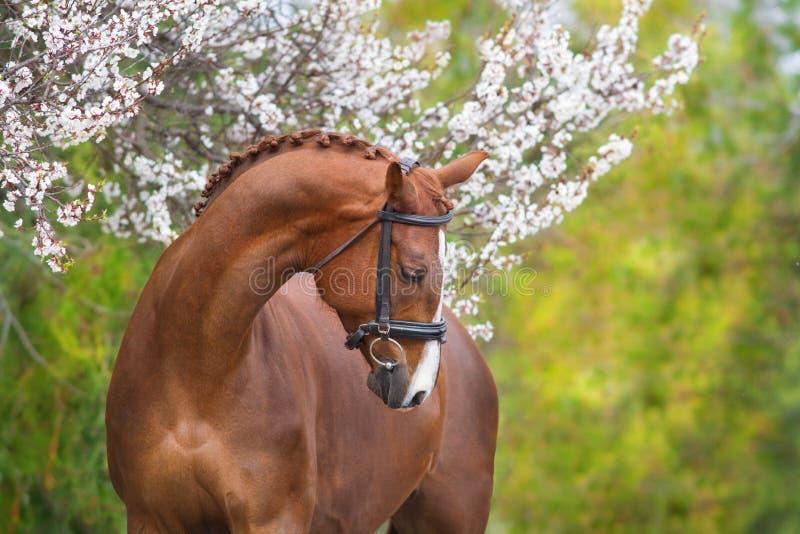在春天开花的红色马画象 免版税库存图片