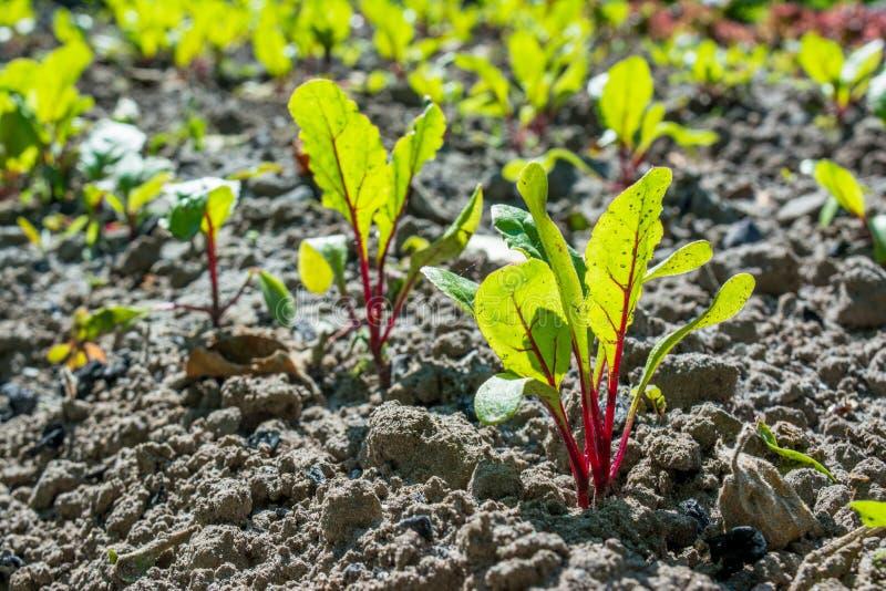 在春天期间,嫩绿的年轻小甜菜根移植生长在床在庭院里 库存图片
