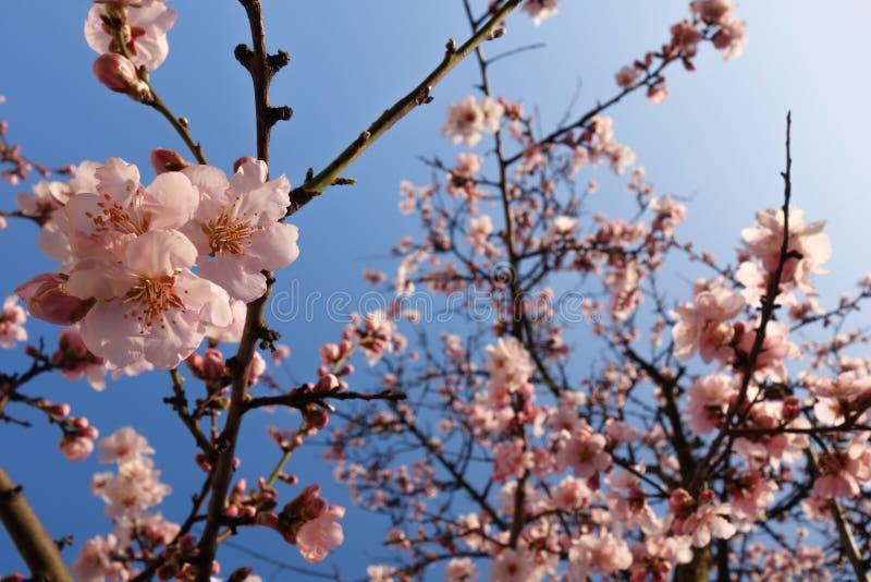 在春天期间的日本樱花 免版税图库摄影