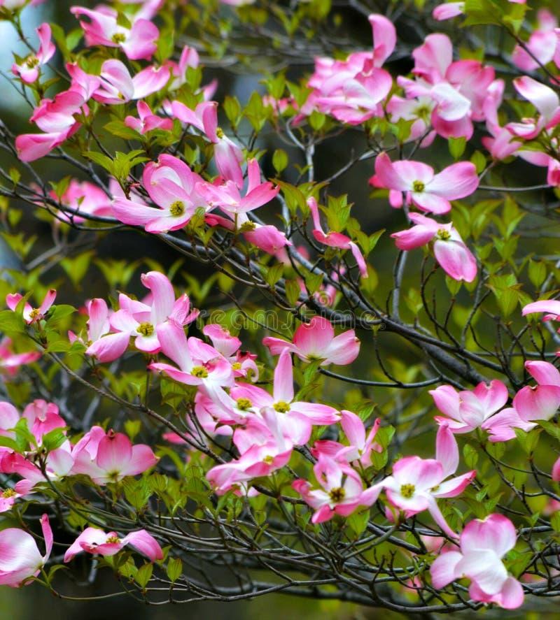 在春天期间的桃红色开花的山茱萸树 免版税库存照片