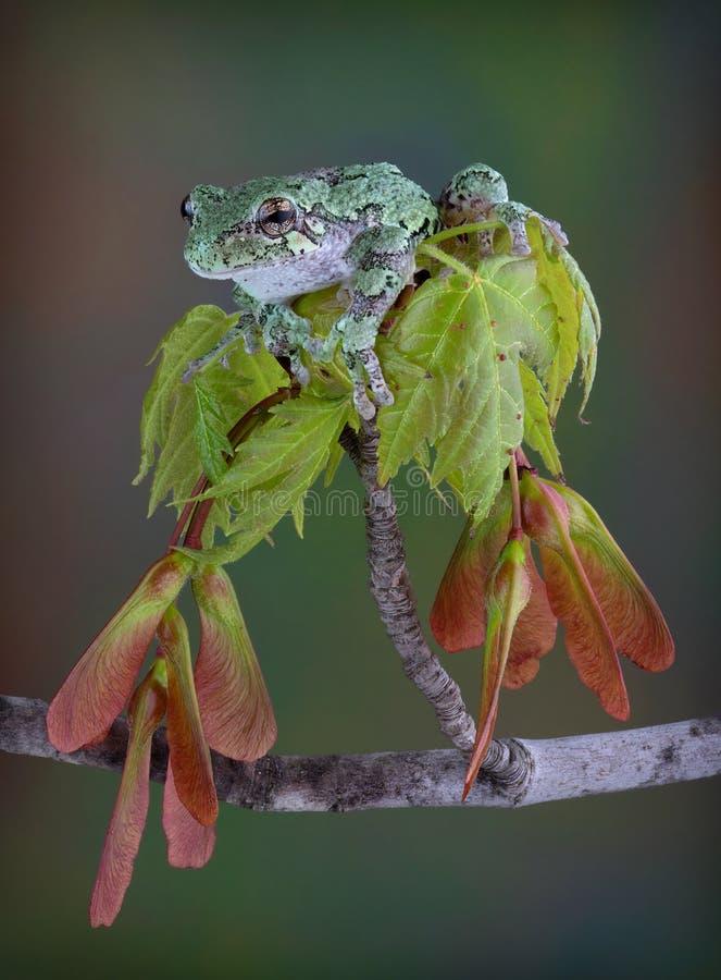 在春天枫叶的灰色雨蛙 库存照片