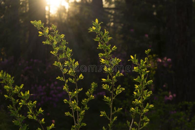 在春天森林前的晚上 图库摄影