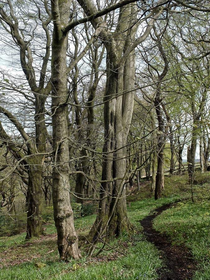 在春天森林地有草覆盖的森林地板的和遇到距离的一条绞的土道路的山毛榉树 库存照片