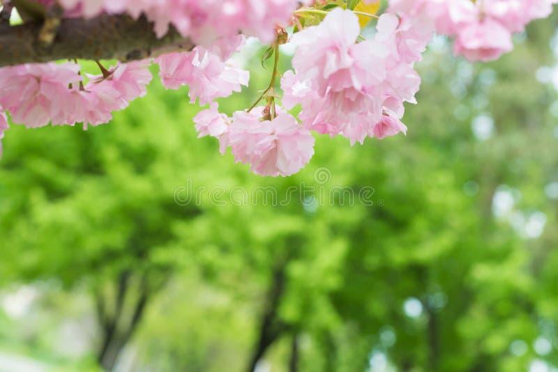 在春天樱桃树的桃红色佐仓花 库存图片