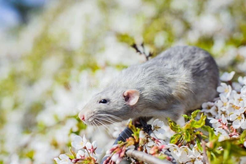 在春天樱花,春节的花梢鼠2020年 免版税库存照片