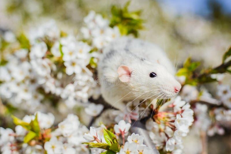 在春天樱花,春节的花梢鼠2020年 免版税库存图片