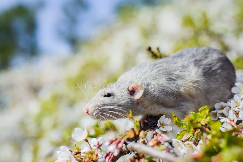 在春天樱花,春节的花梢鼠2020年 库存照片