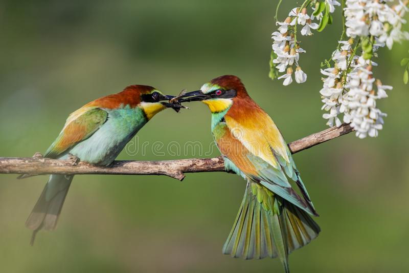 在春天求爱期间的野生鸟 库存照片