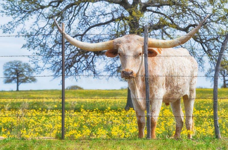 在春天牧场地的得克萨斯长角牛 库存照片