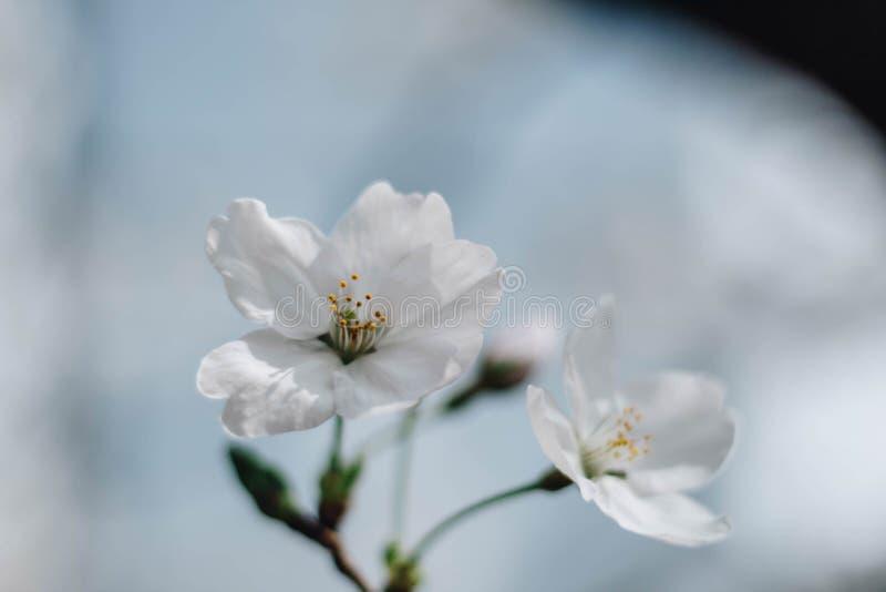 在春天的一朵白色樱花佐仓在蓝天 库存照片