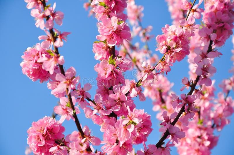 在春天的桃红色桃花 库存照片