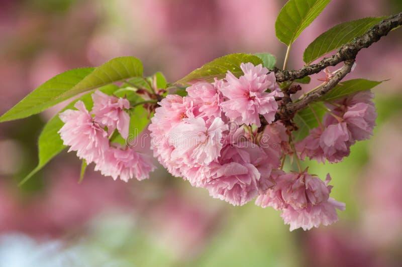 在春天的桃红色樱花花 免版税图库摄影