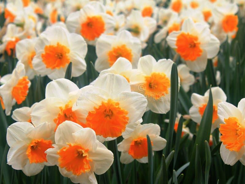 在春天的白色和橙色水仙 免版税库存照片