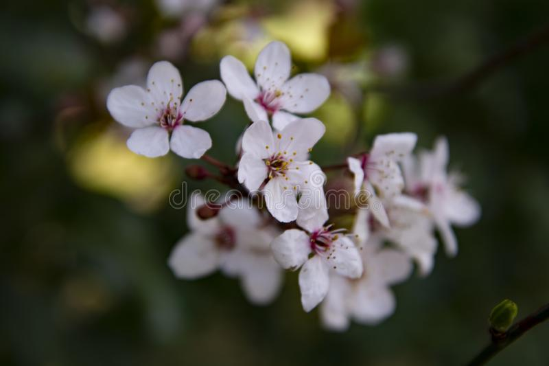 在春天的美丽的樱桃blossomflowers 可能 背景蒲公英充分的草甸春天黄色 库存照片