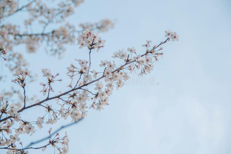 在春天的著名akura在蓝天 免版税库存照片