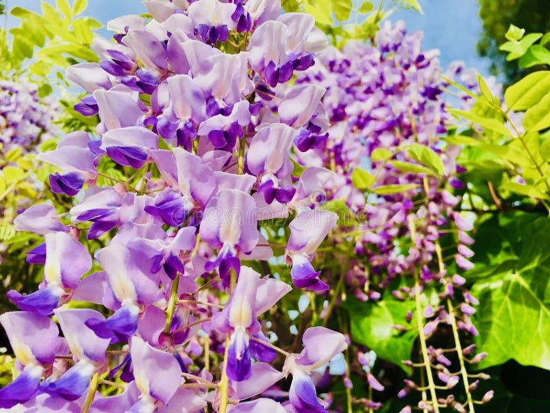 在春天紫色响铃的花 库存照片