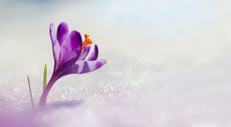 在春天花番红花的惊人的阳光 不可思议的庄严春天花番红花bloomingBig全景照片看法在雪的 免版税库存照片