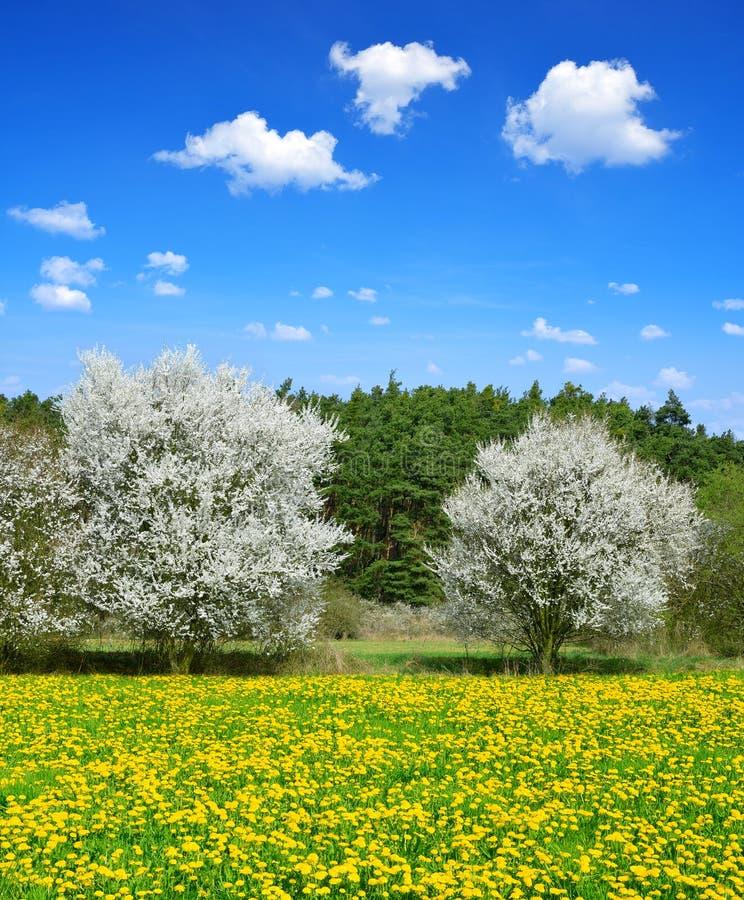 在春天草甸的开花的树 库存图片