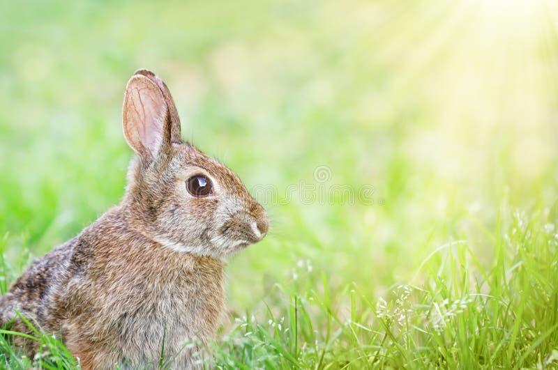 在春天草的逗人喜爱的棉尾兔小兔 库存照片