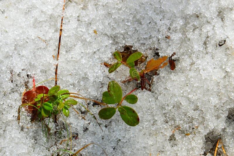 在春天解冻的红色越桔 熔化雪纹理  拉特银币 牛痘葡萄属idaea 图库摄影