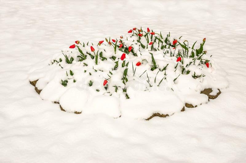 在春天雪的红色郁金香 库存图片