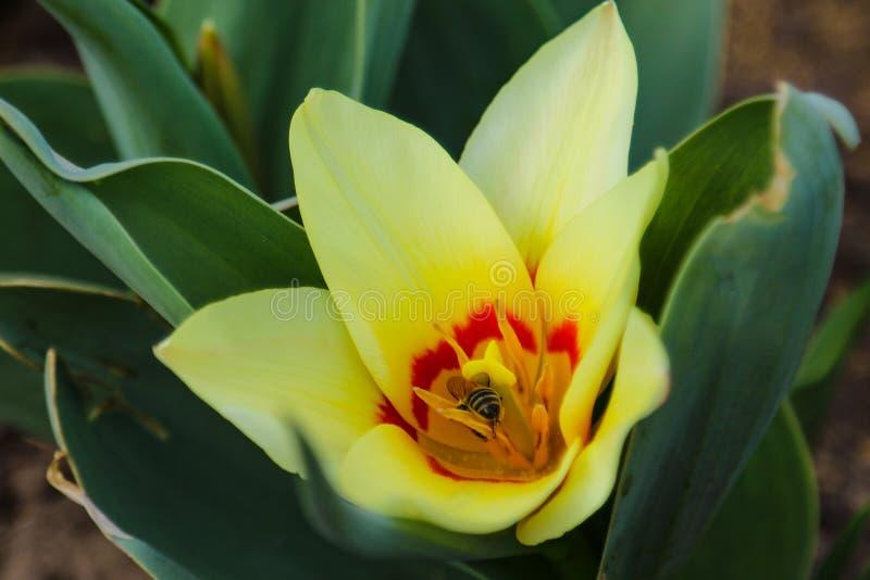 在春天风景背景的明亮和五颜六色的花郁金香  图库摄影