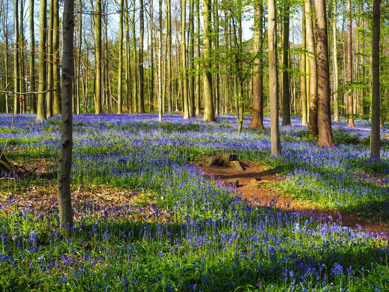 在春天,比利时期间的充满活力的会开蓝色钟形花的草森林地 免版税库存图片